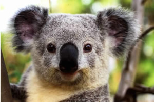 コアラを抱けるスポット紹介旅の特集 Vol07 オーストラリア
